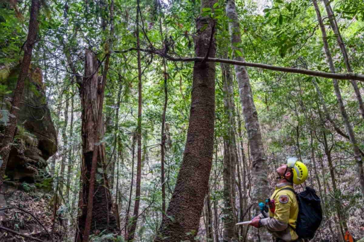 alberi dinosauro australia