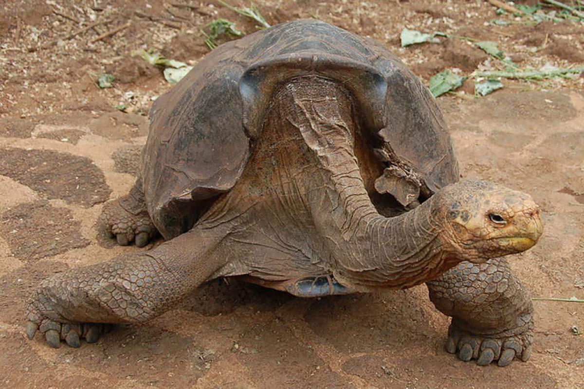 tartaruga-espanola