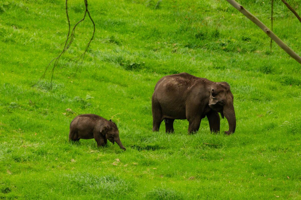 tè ferite elefanti