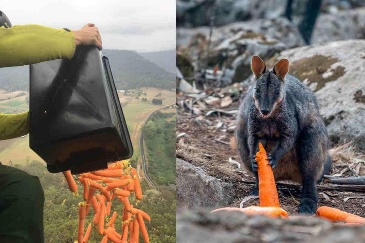carote australia wallaby