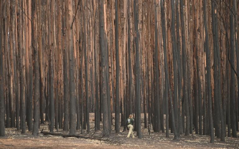 koala nella foresta
