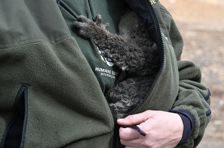 koala ferito
