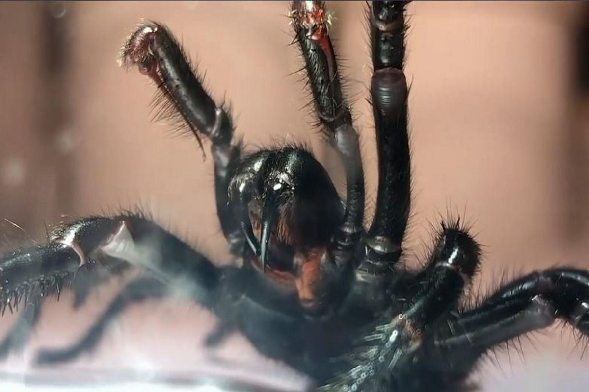 Ragno dalla tela a imbuto