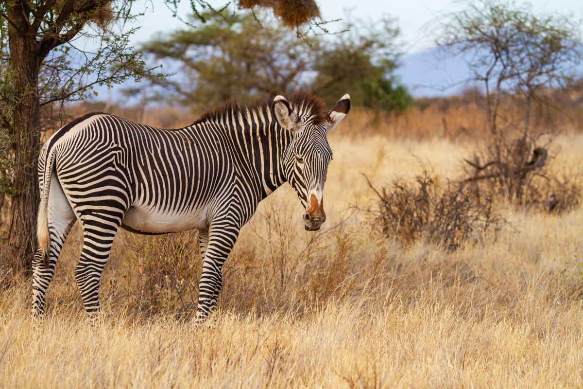 Zebra di Grevy