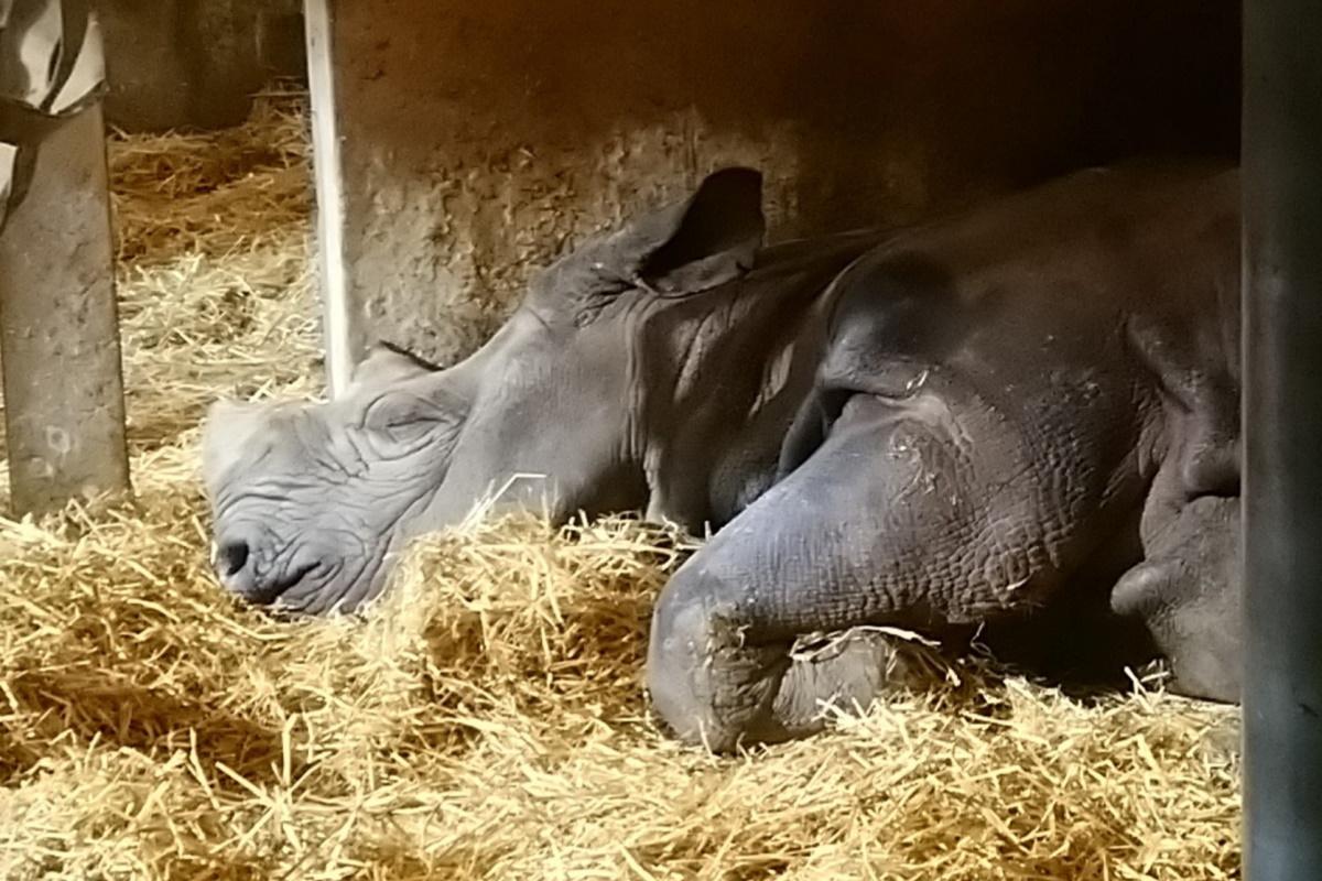 Rinoceronte Jacob