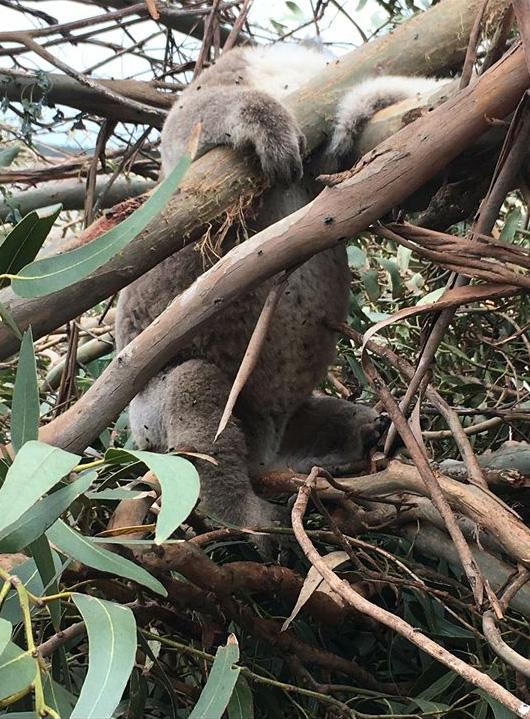 massacro koala
