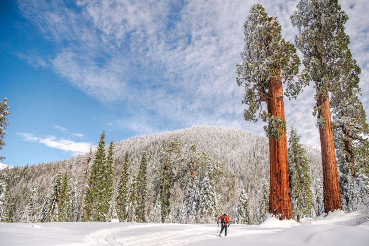 foresta sequoia