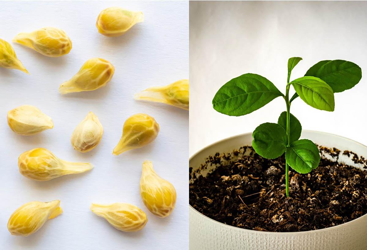Come Far Morire Una Pianta come piantare il limone in una tazza per profumare e