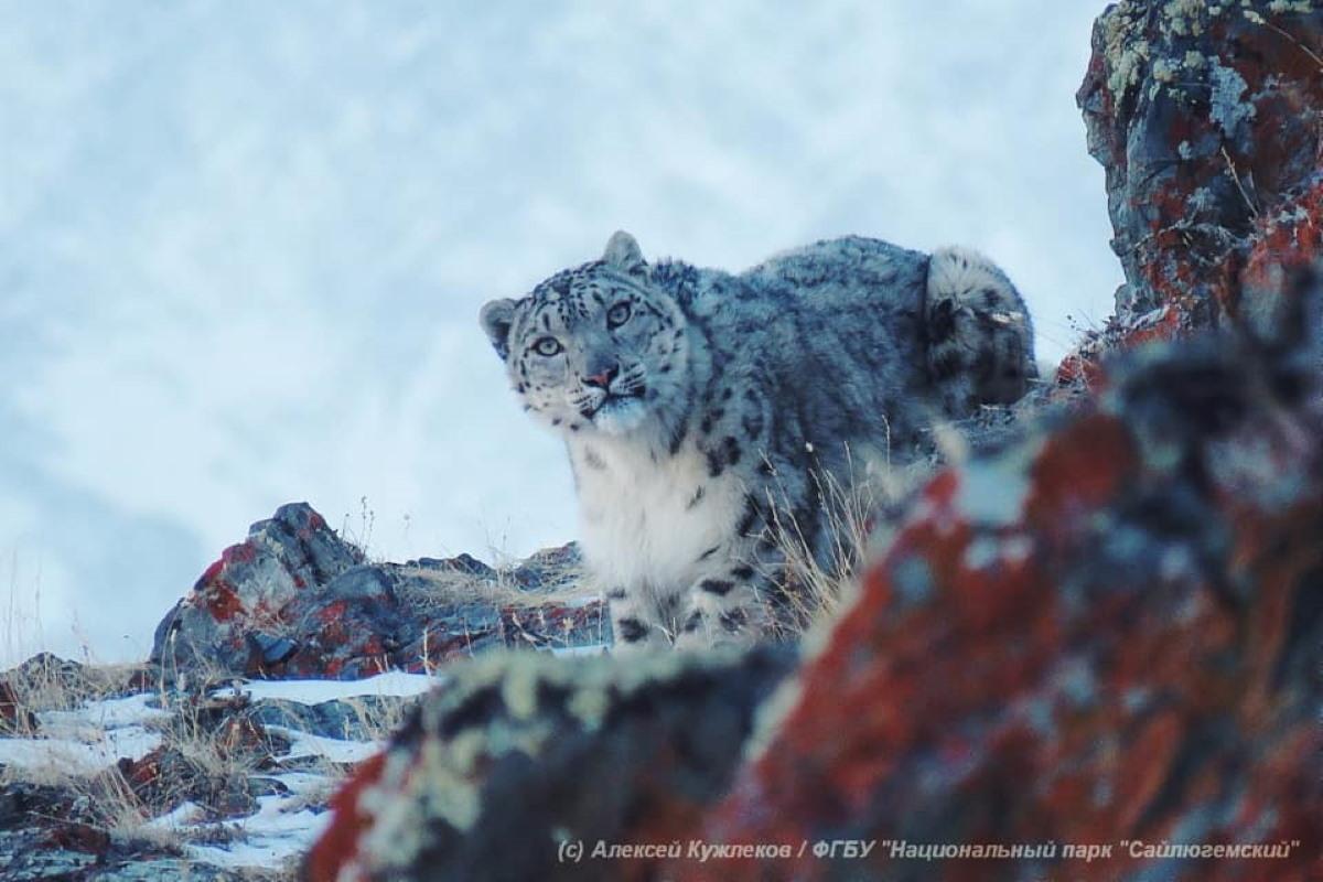 Riappare il rarissimo leopardo delle nevi, avvistata una femmina nel cuore della Russia
