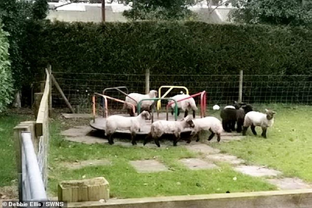 Il parco giochi è deserto a causa del lockdown: pecore si divertono su una giostra per bimbi