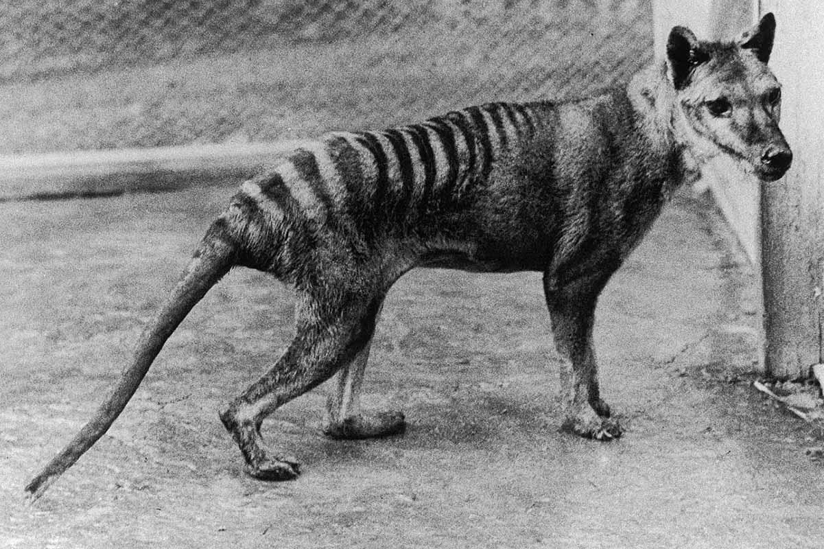 Benjamin-thylacine
