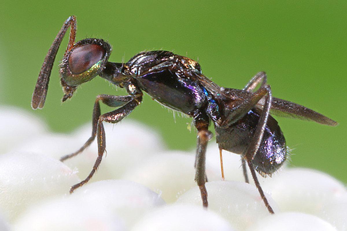 anastatus insetto