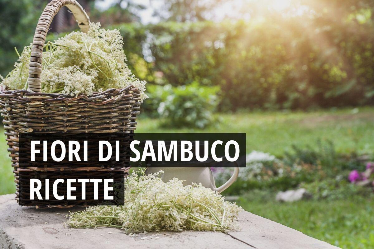 ricette fiori di sambuco