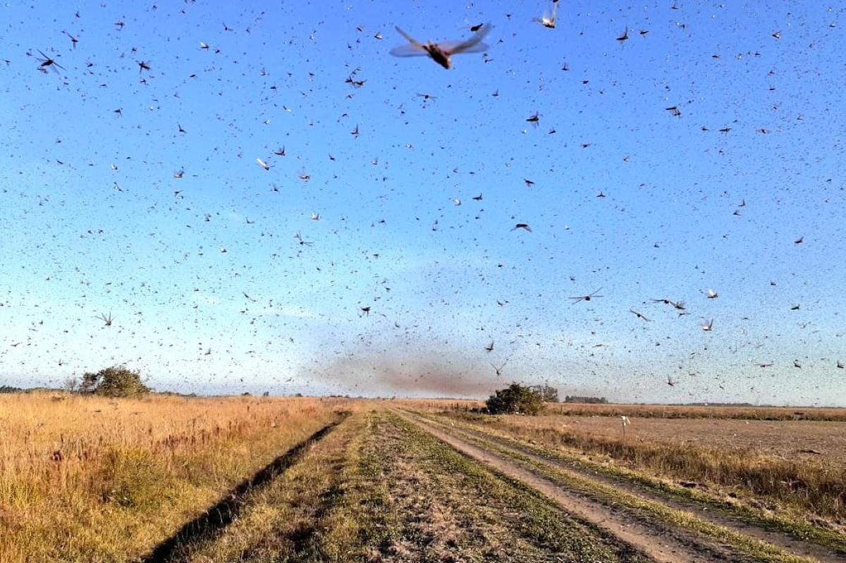 locuste argentina