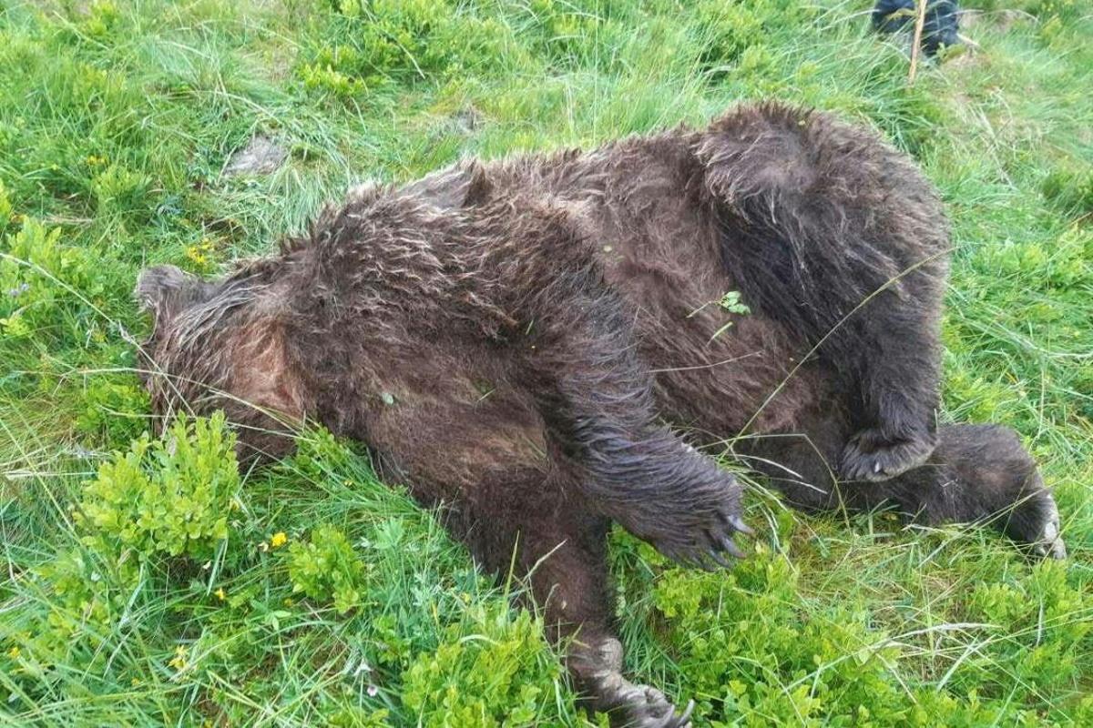 orso morto