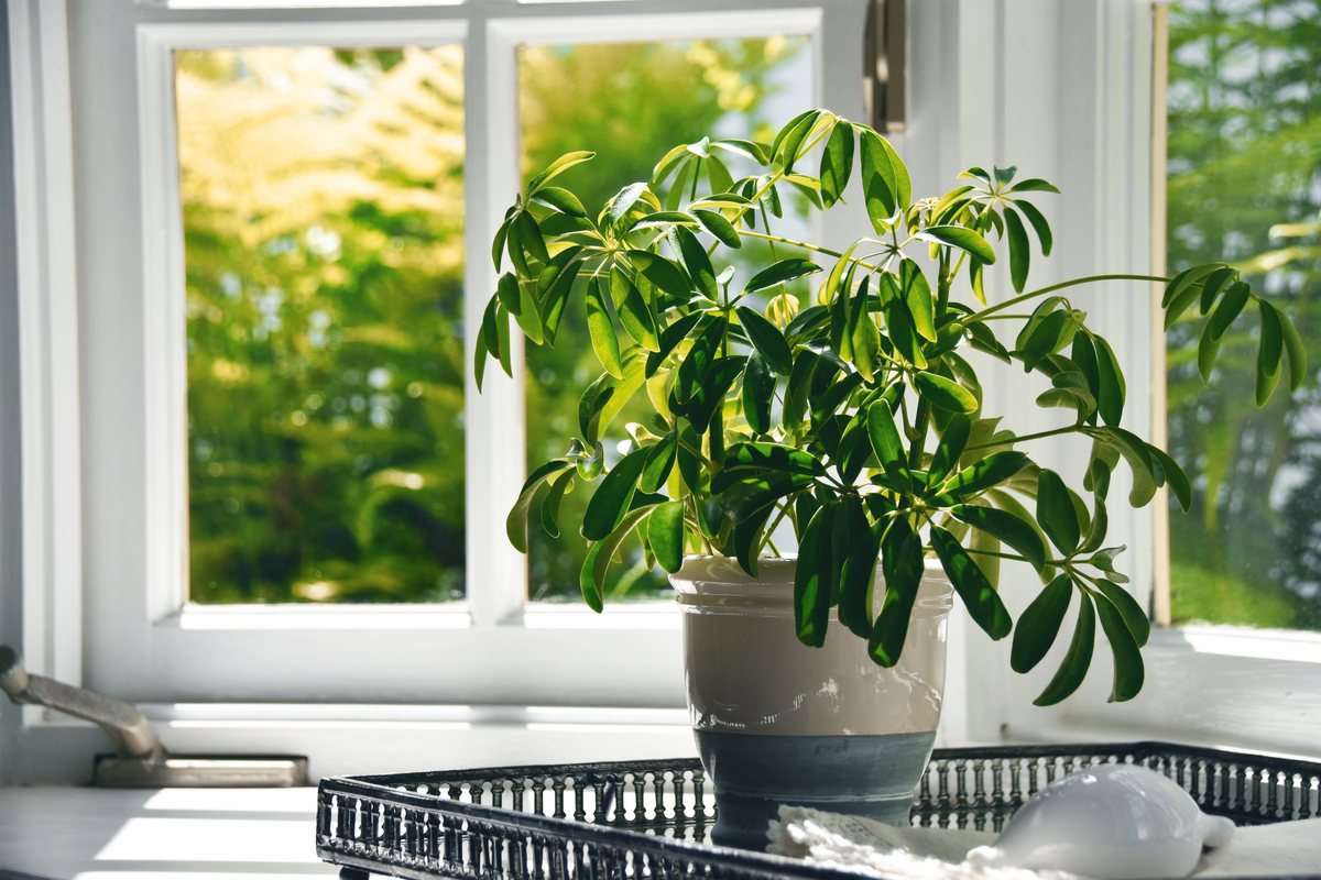 Piante d'appartamento semplici da coltivare: la Scheffelera o pianta ombrello