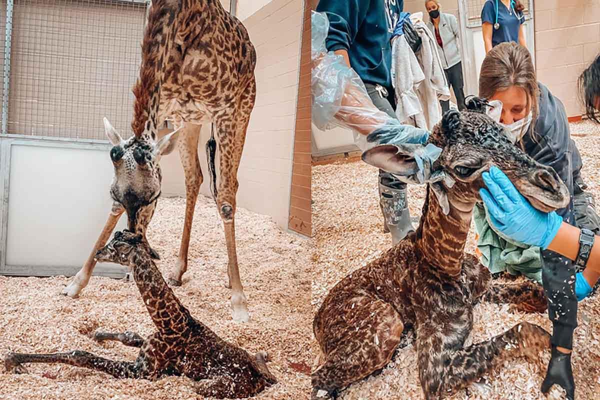 cucciolo giraffa zoo nashville