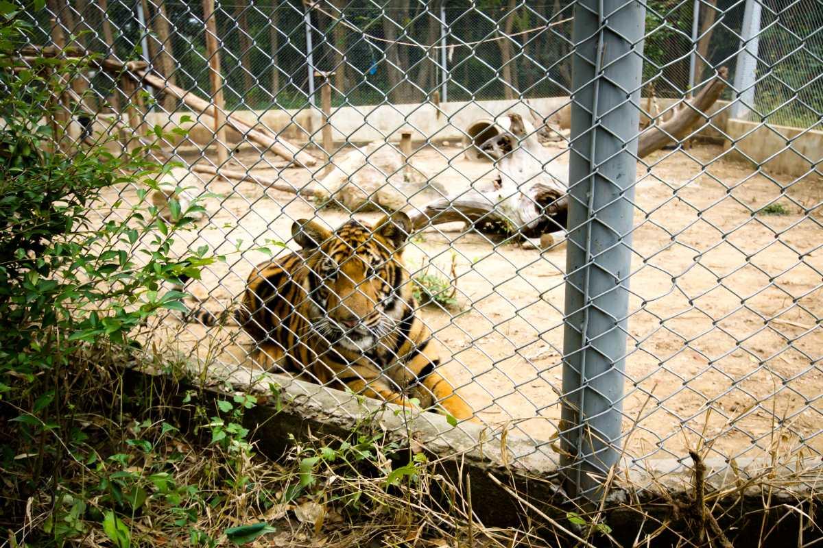tigre zoo svezia