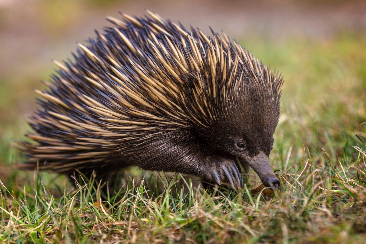 echidna australia