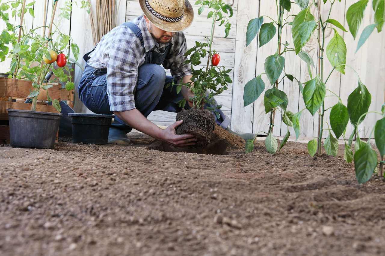 consigli coltivare pomodori principianti