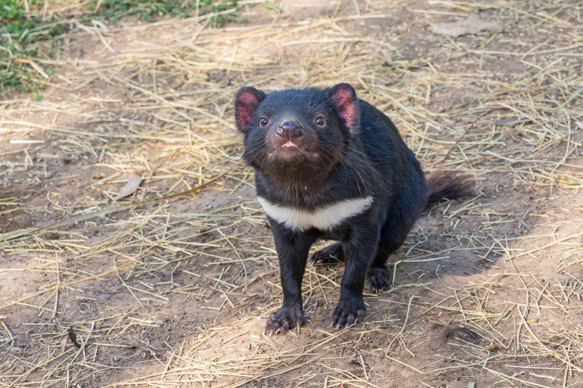 diavoli tasmania