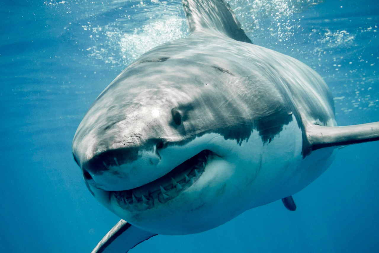 squalo bianco smetita parentela con megalodonte