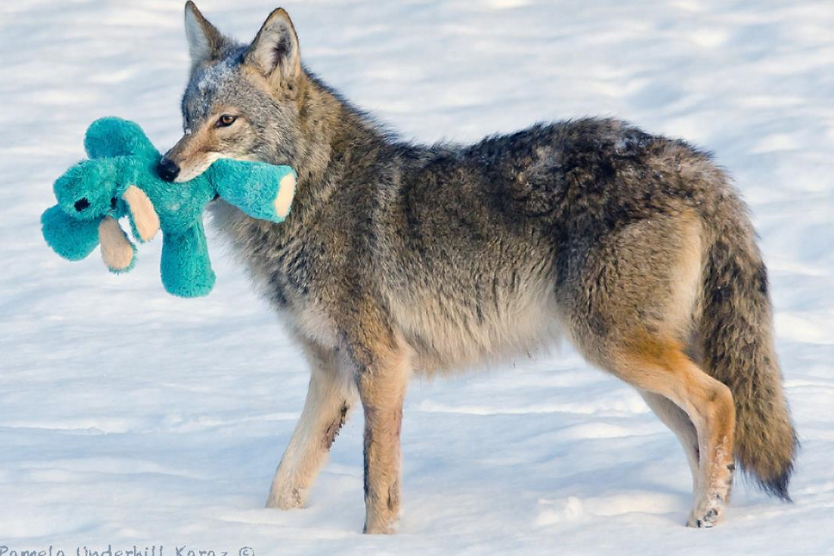 coyote peluche