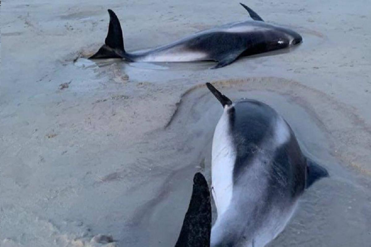 delfini spiaggiati scozia