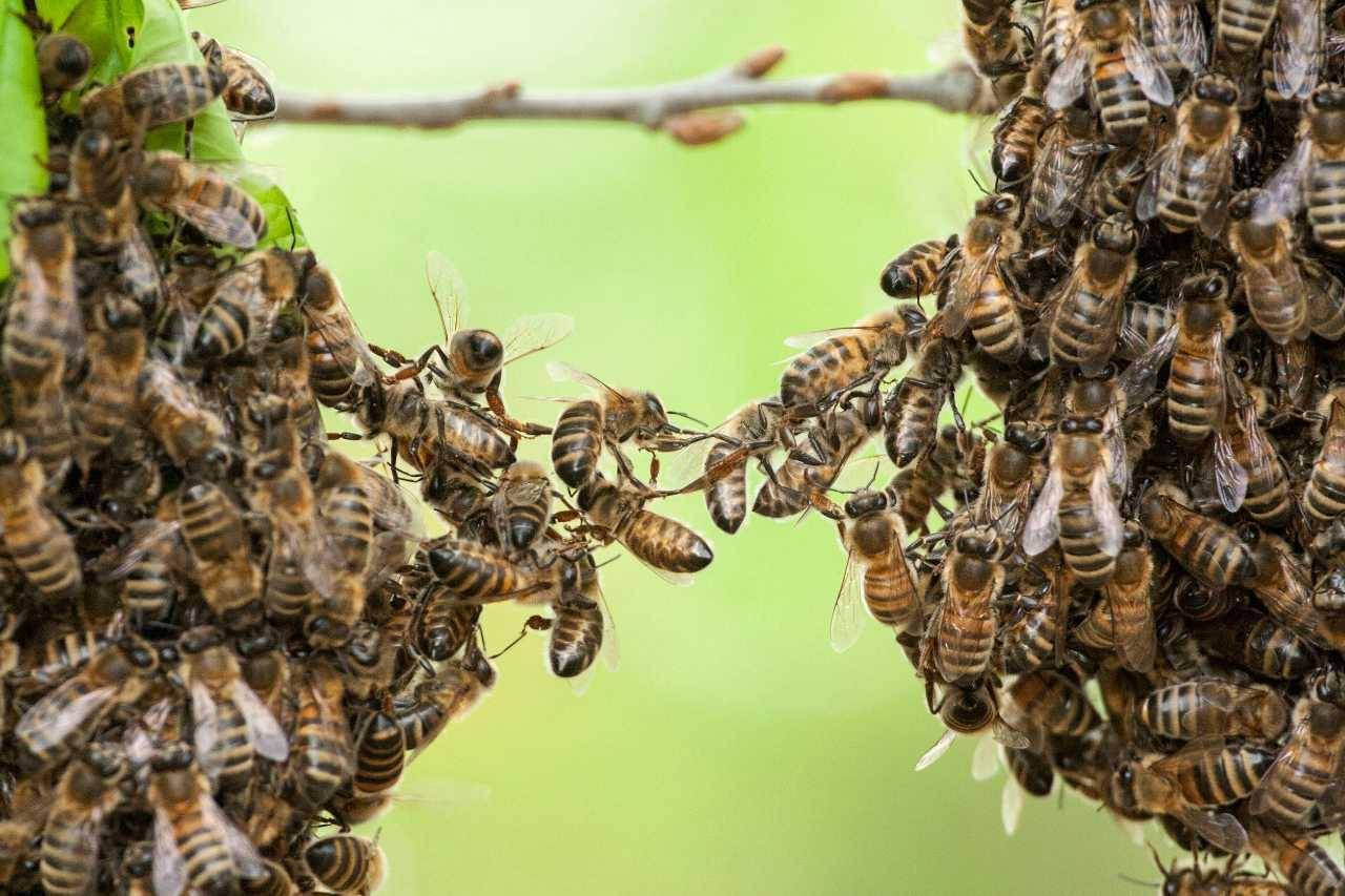 mistero accoppiamento api
