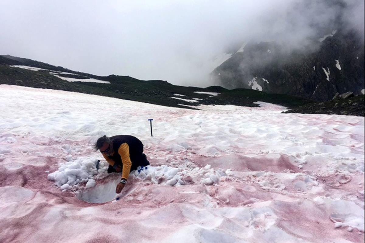ghiacciai microalghe