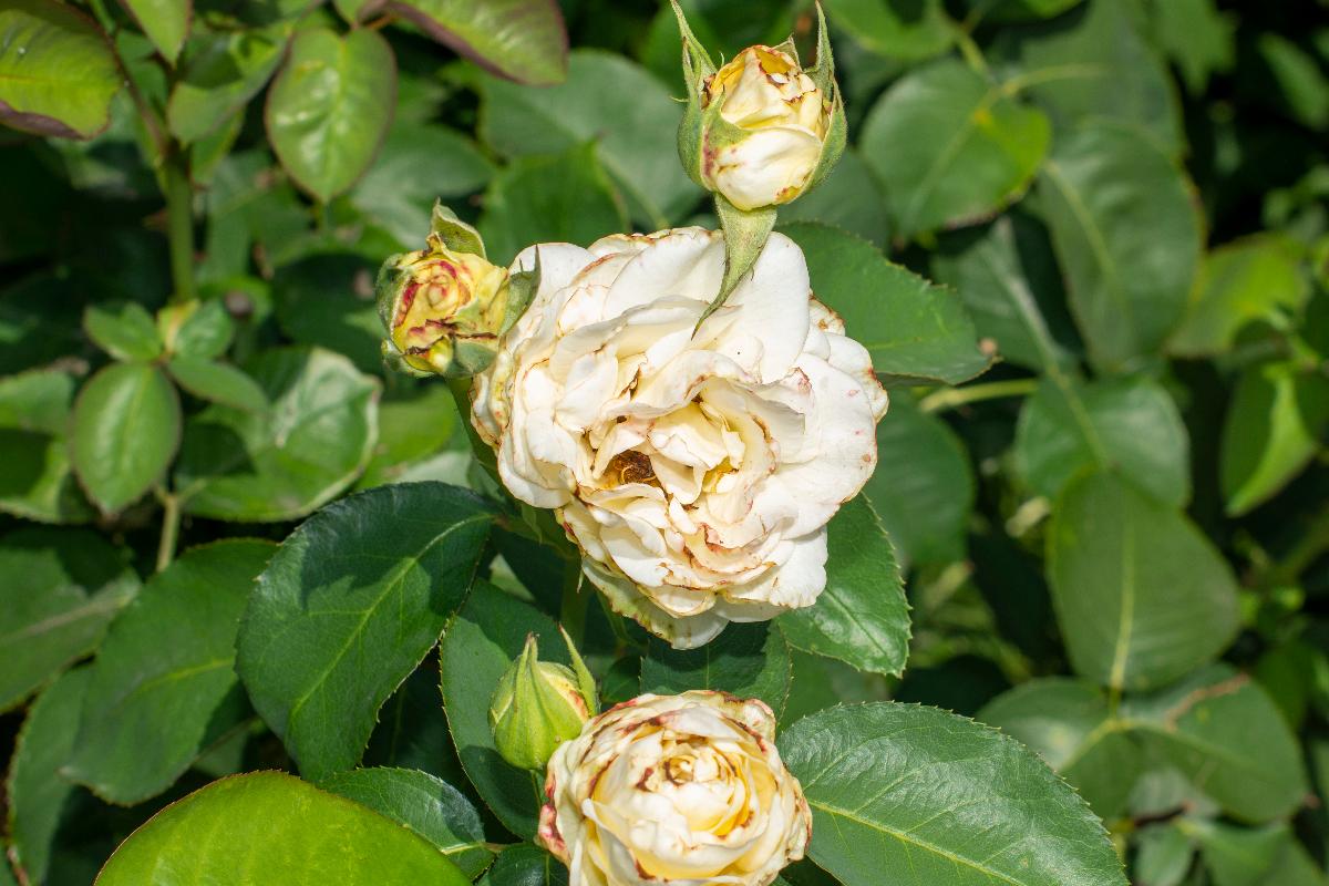 Rose macchia nera