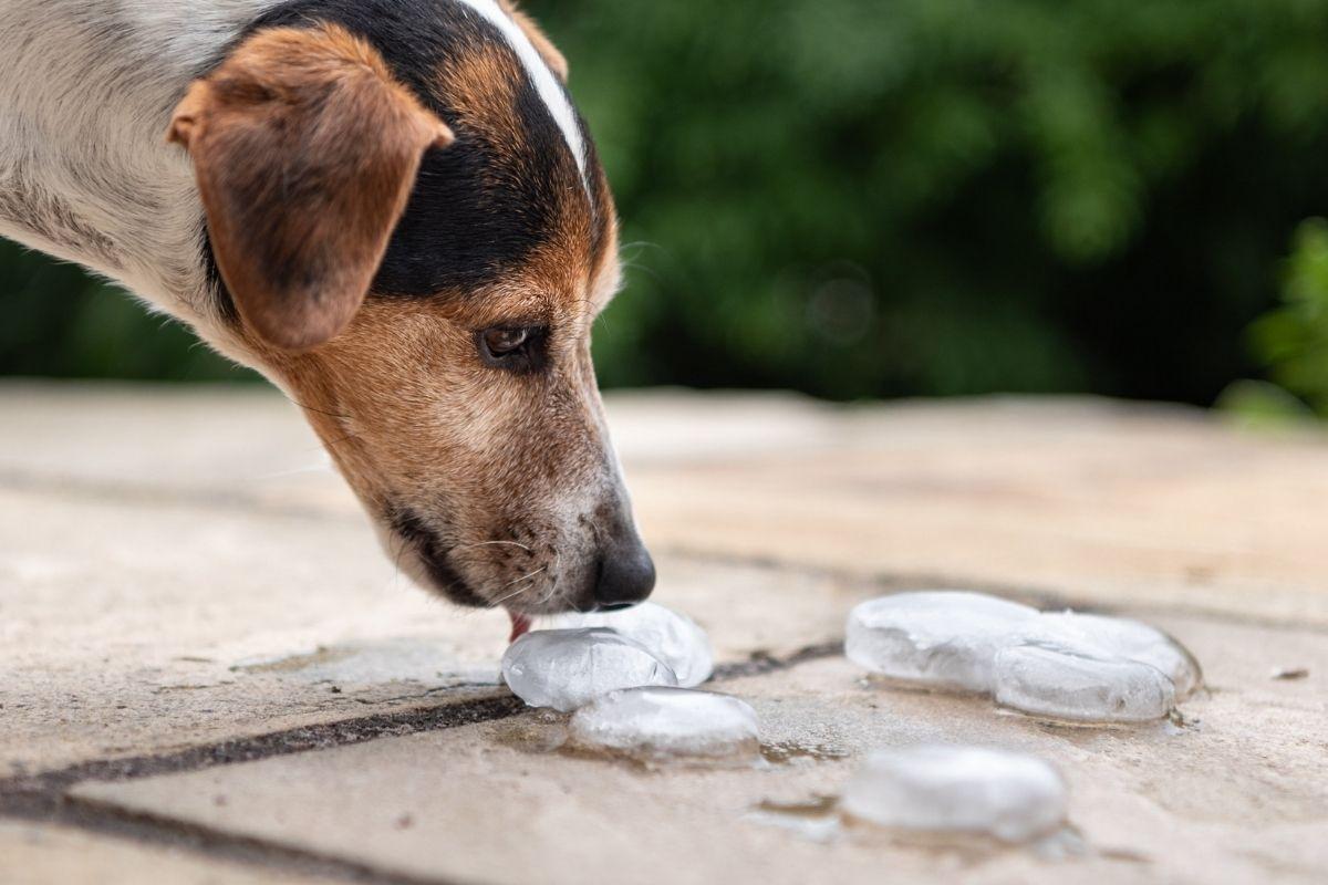dare ghiaccio ai cani