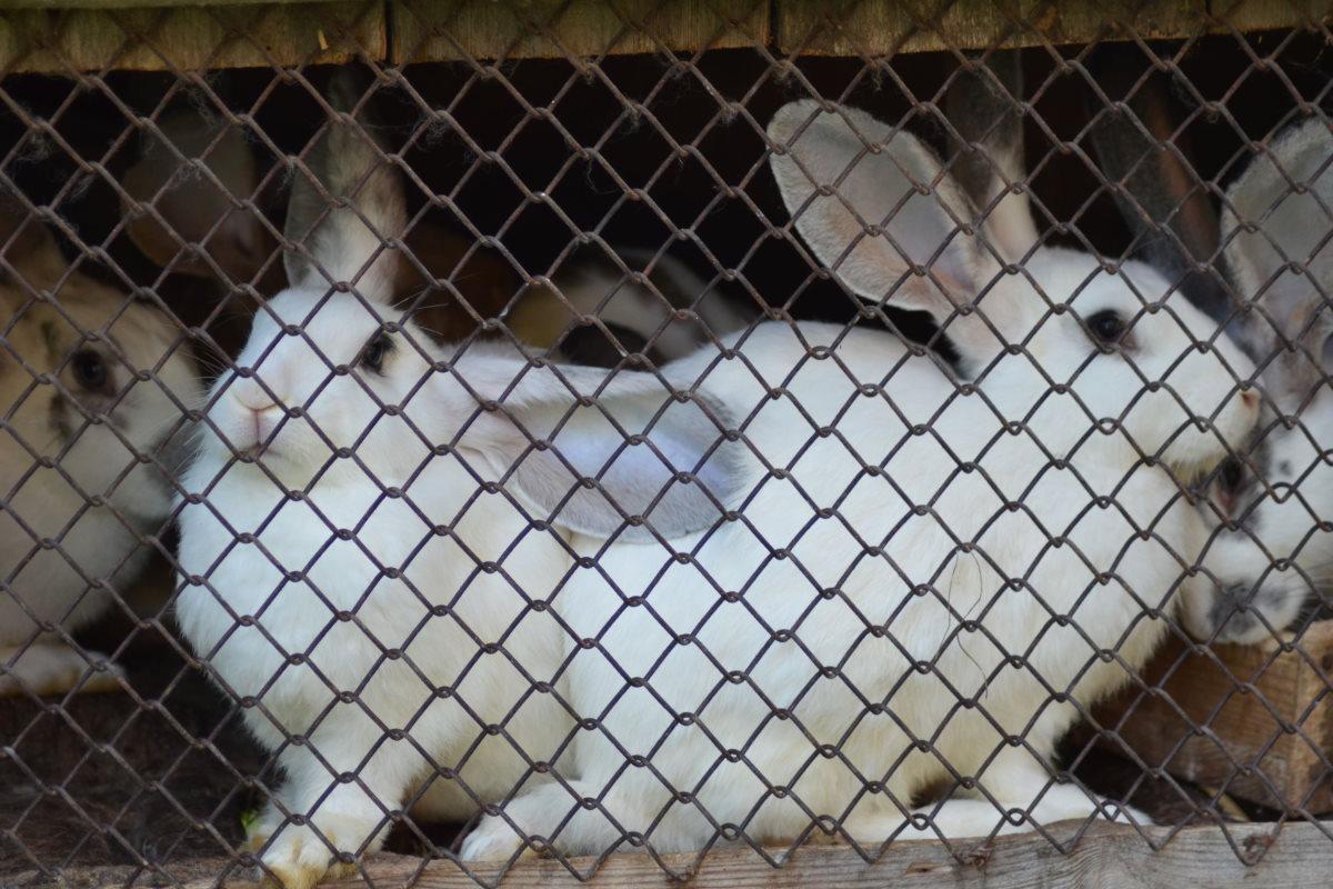 gabbie conigli