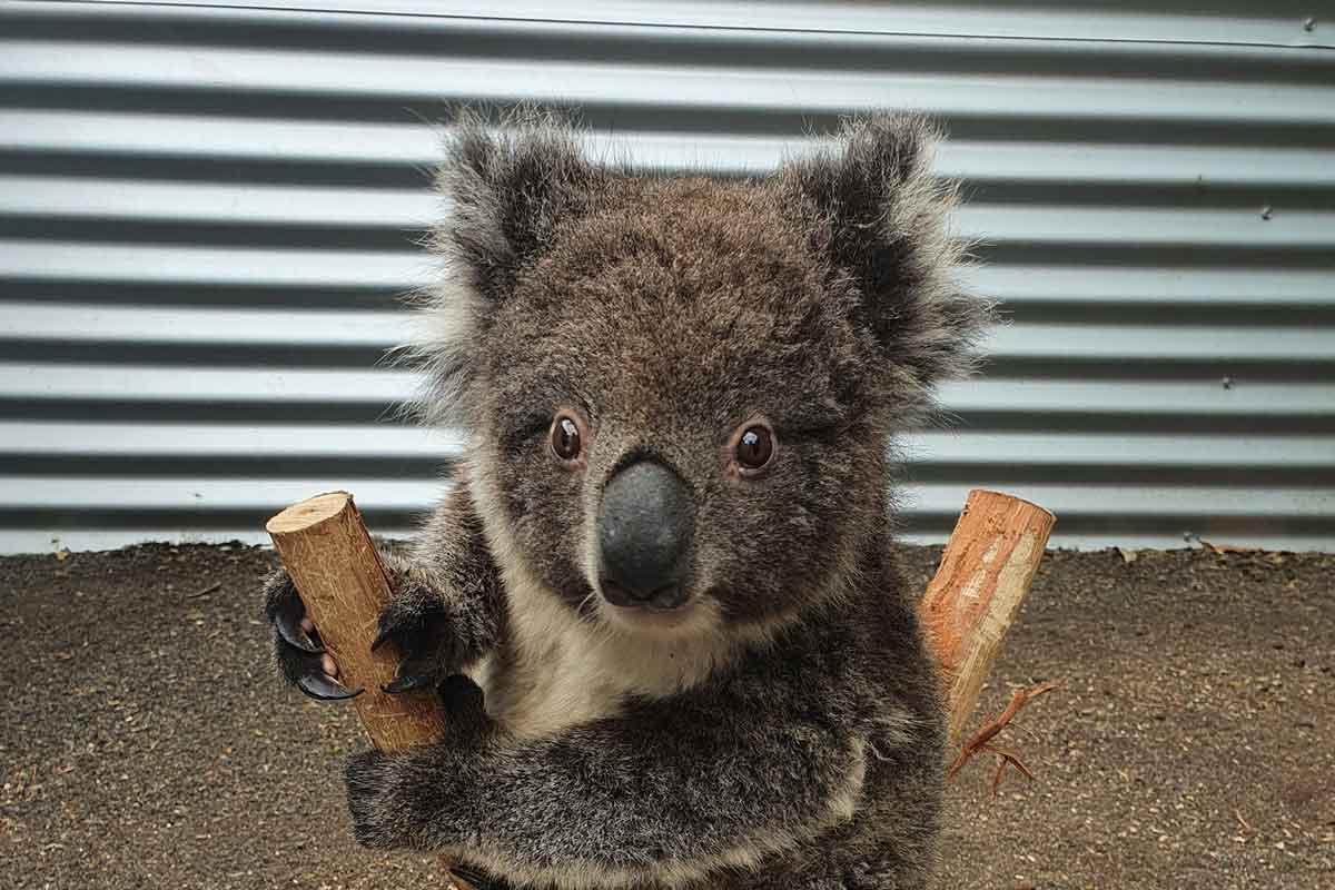 pesare un koala