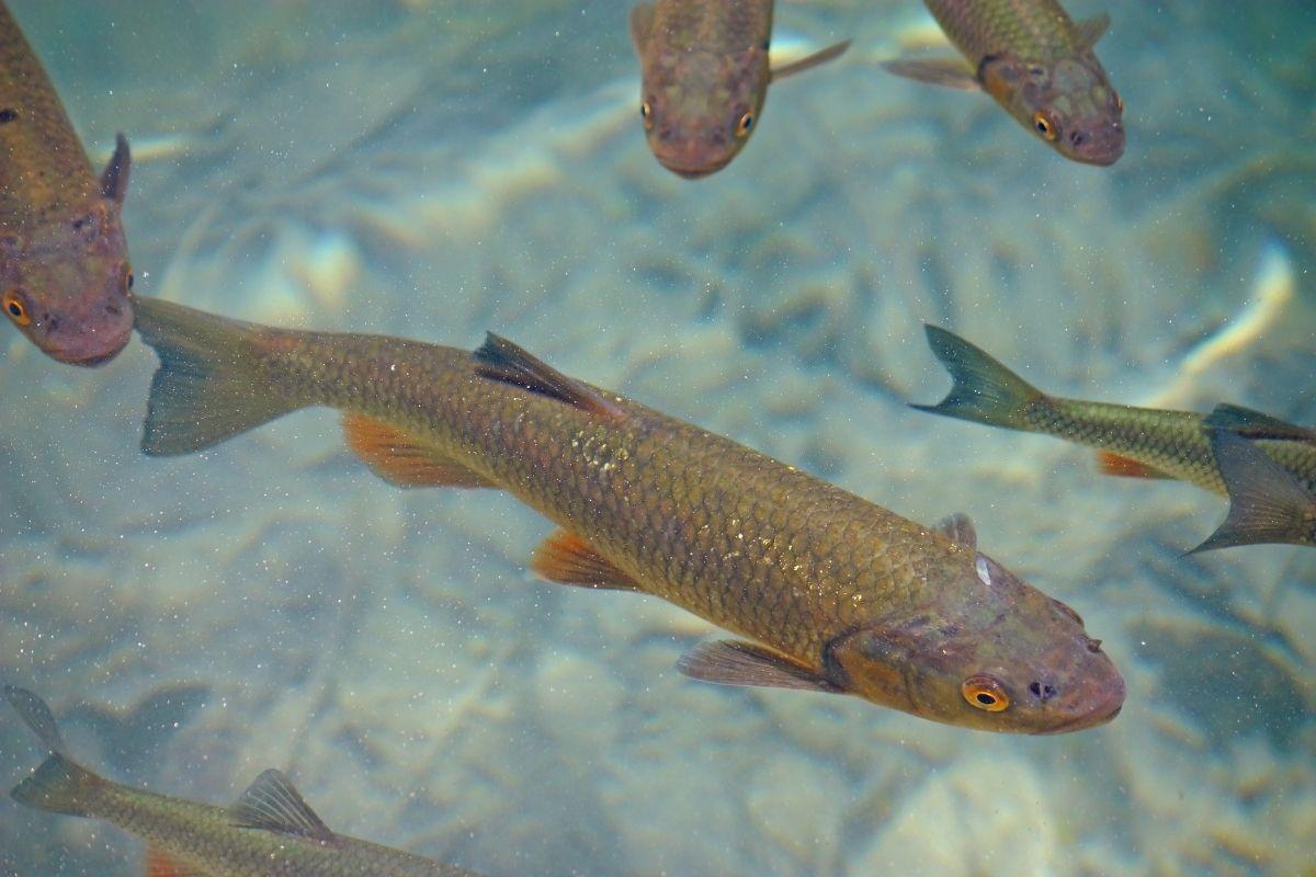 metanfetamine nei pesci