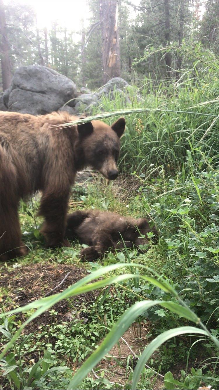 orso investito yosemite park