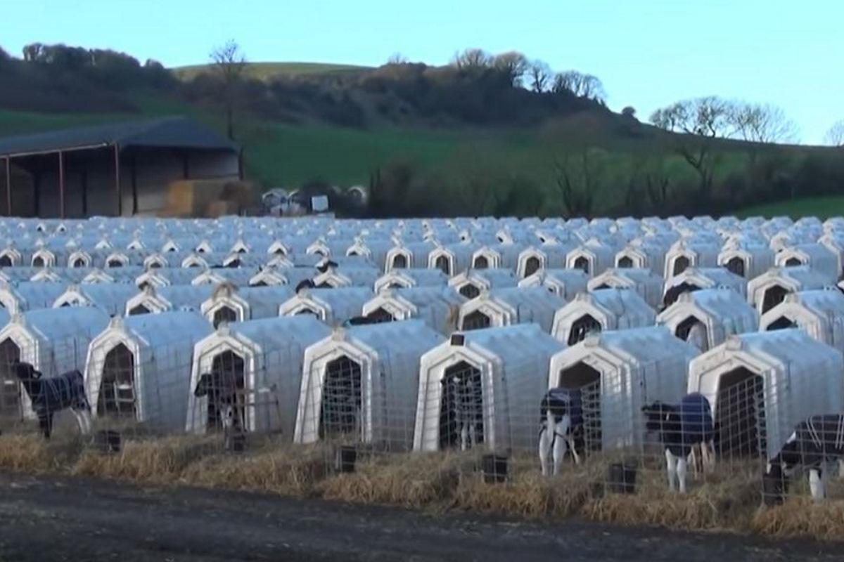 Questa è la verità sui vitelli dell'industria del latte, anche se sembra un film dell'orrore