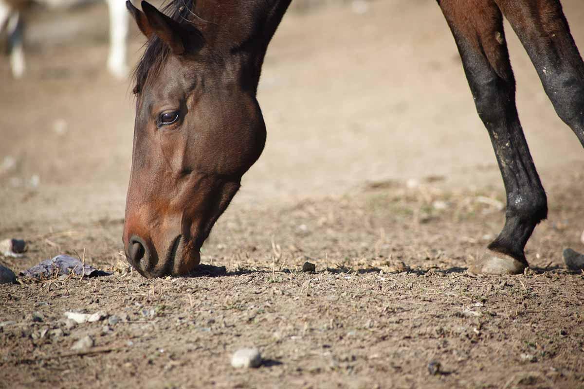 cavalli steppa kazakistan