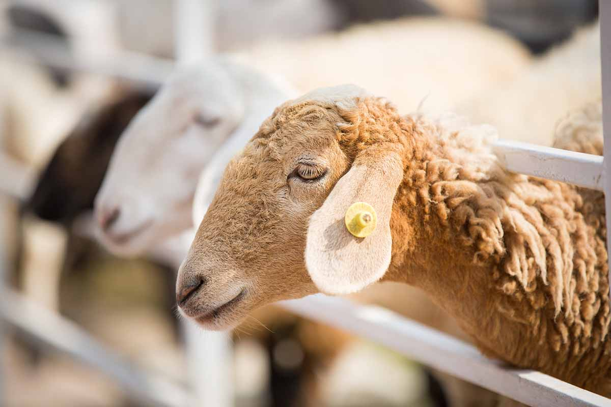 pecore taglio coda