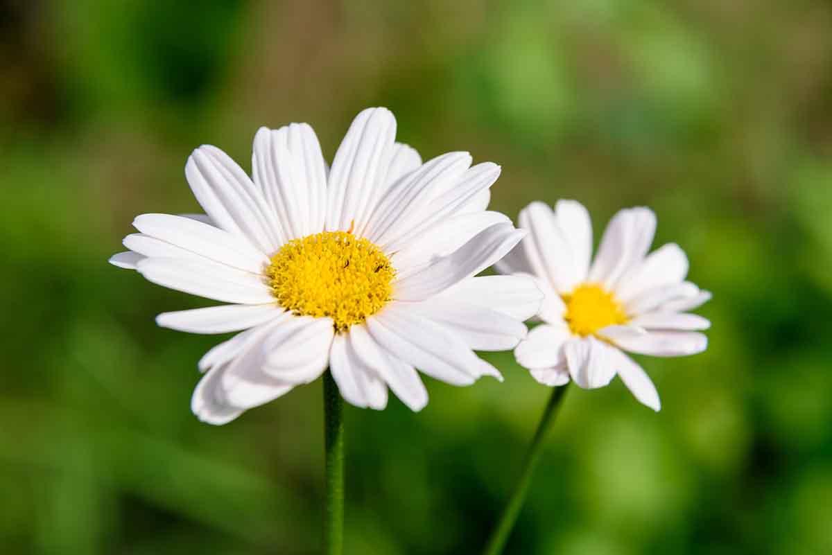 piretro fiore