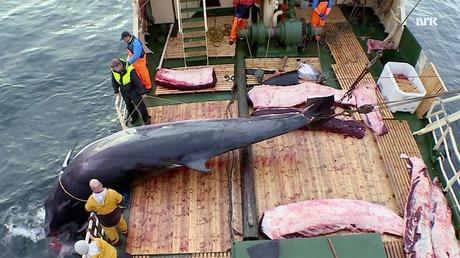 caccia balene norvegia 575 uccise