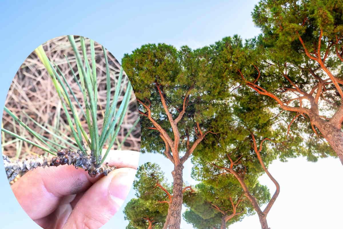 cocciniglia pini roma