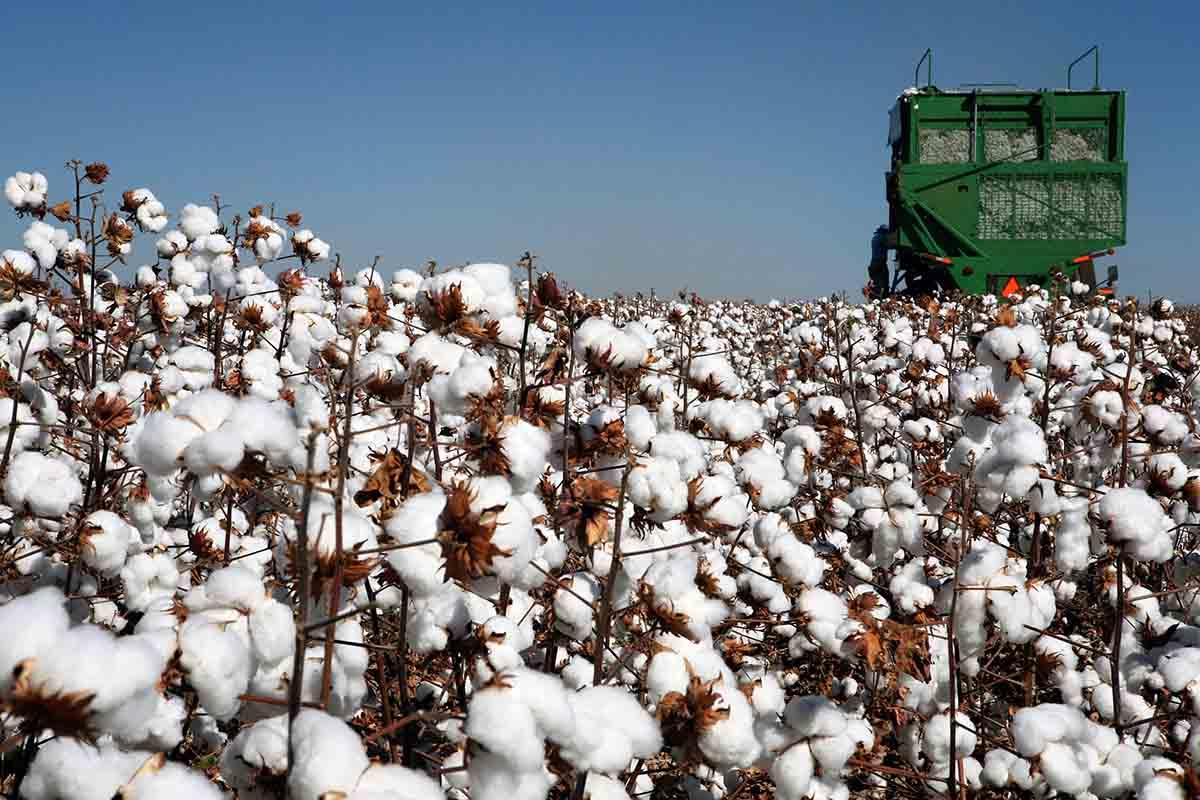 piantagioni cotone