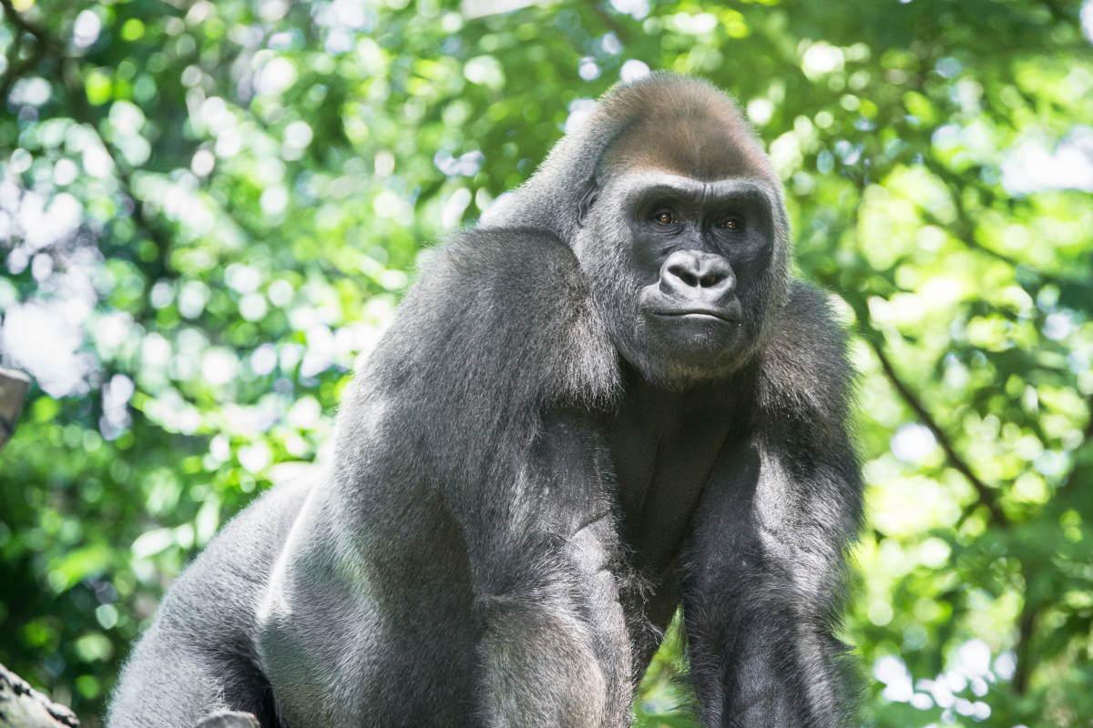 gorilla pianura