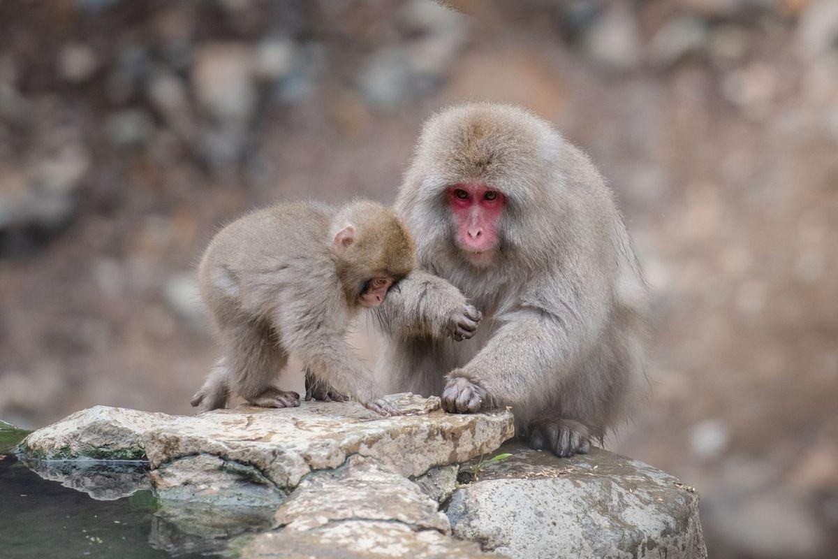primati si occupano di cuccioli morti elaborazione lutto