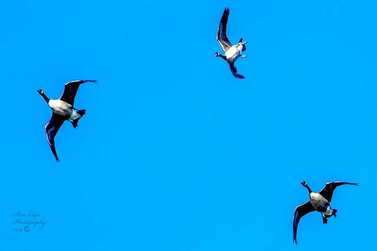 volo uccelli