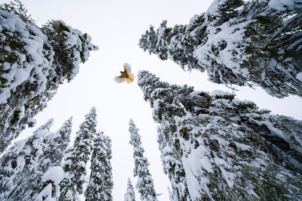 High-flying jay, by Lasse Kurkela, Finland