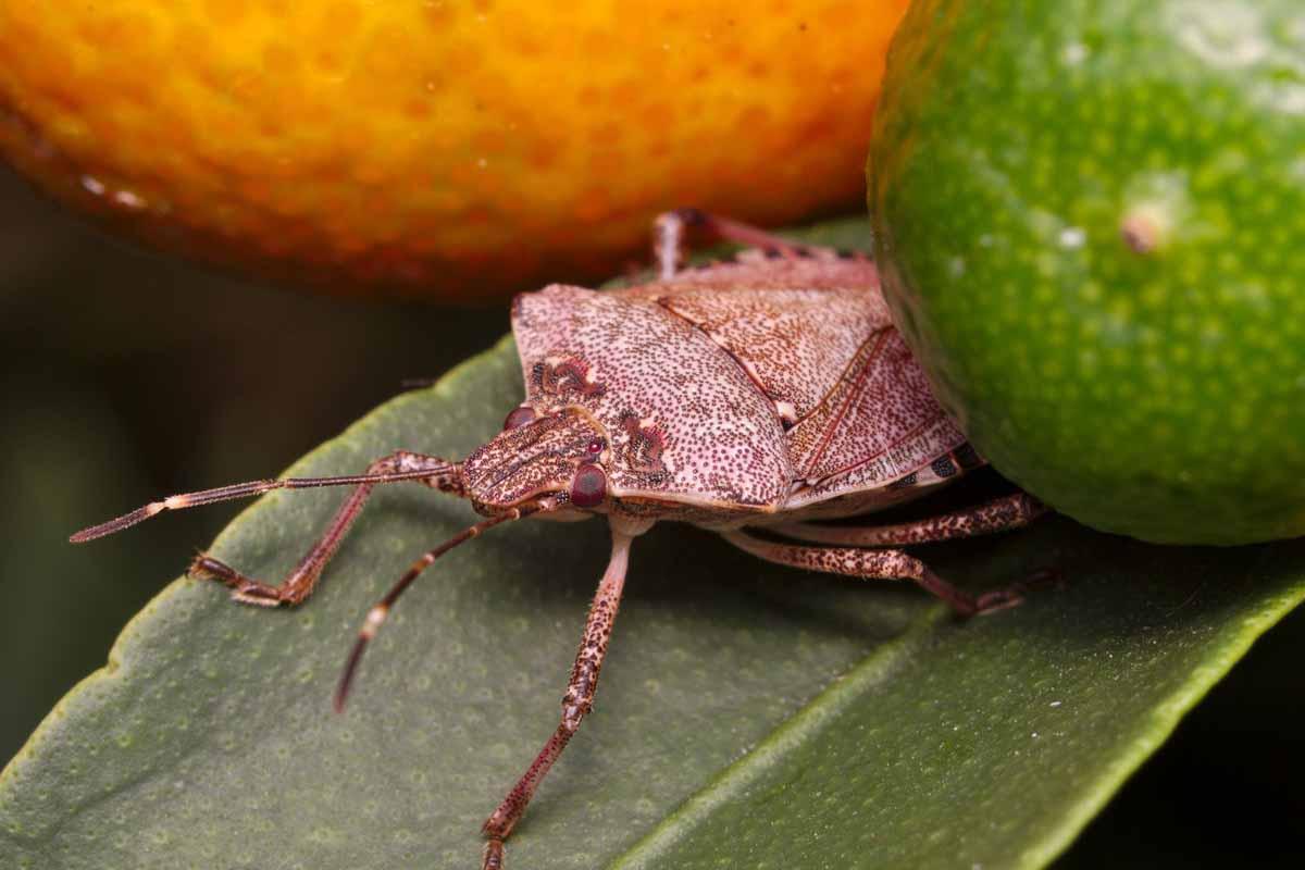 cimice asiatica frutteti