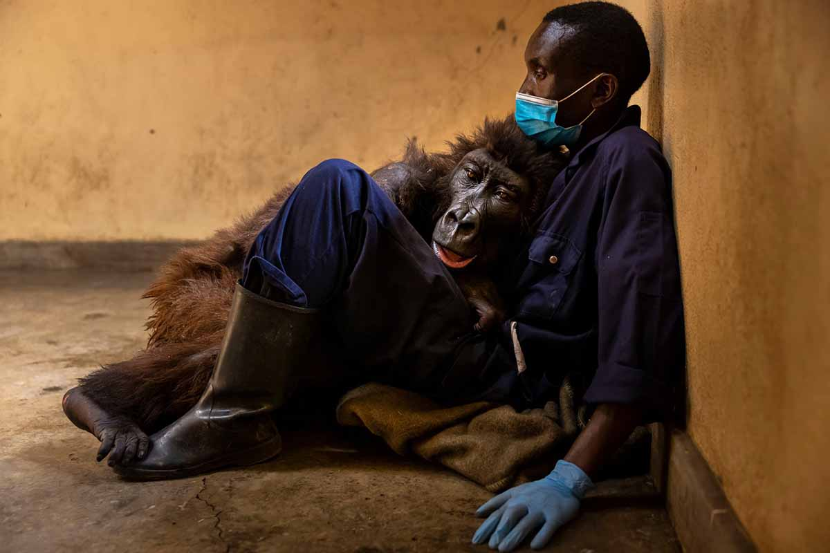 gorilla selfie morta custode parco