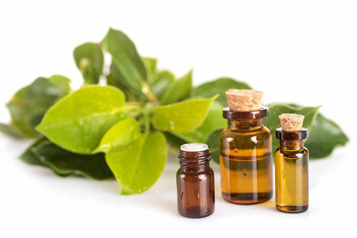 olio essenziale ravintsara Cinnamomum camphora